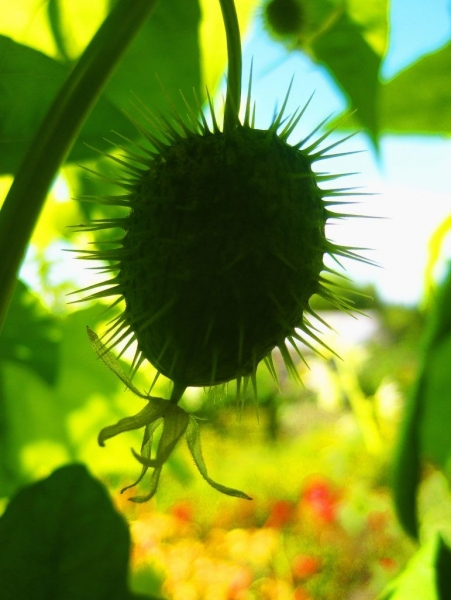 Эхиноцистис — выращивание, посадка, размножение и уход