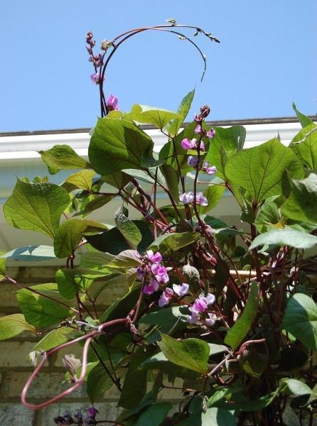 Фасоль лобиа — выращивание, посадка, размножение и уход