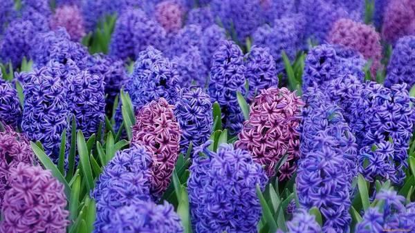 Гиацинт  это цветок многолетний или однолетний?