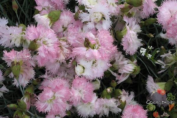 Гвоздика садовая многолетняя  посадка и уход, фото, сорта, виды, семенами и рассадой