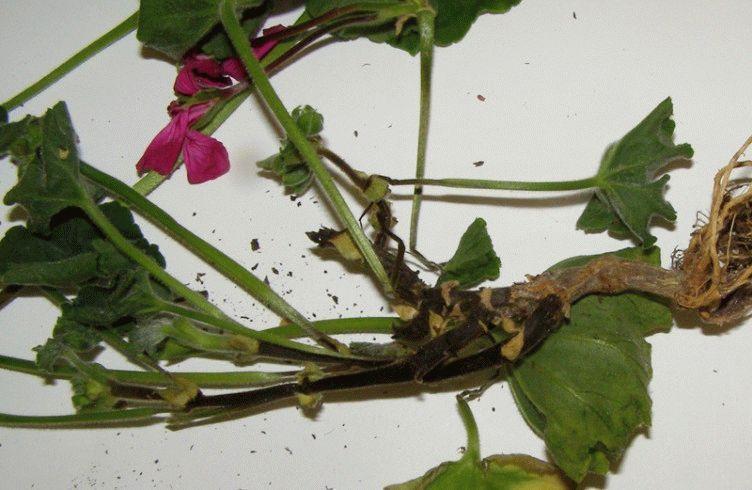 Как бороться с черной ножкой у рассады цветов — методы и средства