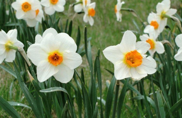 Как и чем подкармливать нарциссы до и после цветения