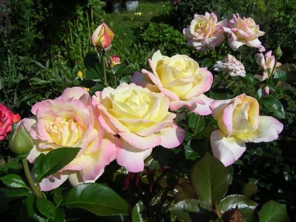Как и чем правильно укрывать розы на зиму?