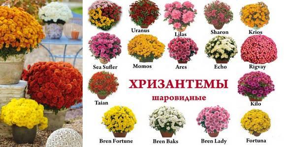Как ухаживать за шаровидной хризантемой: выращивать и размножать?