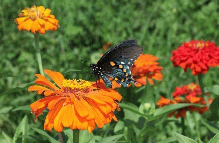 Как вырастить цинию из семян на даче — посадка и уход