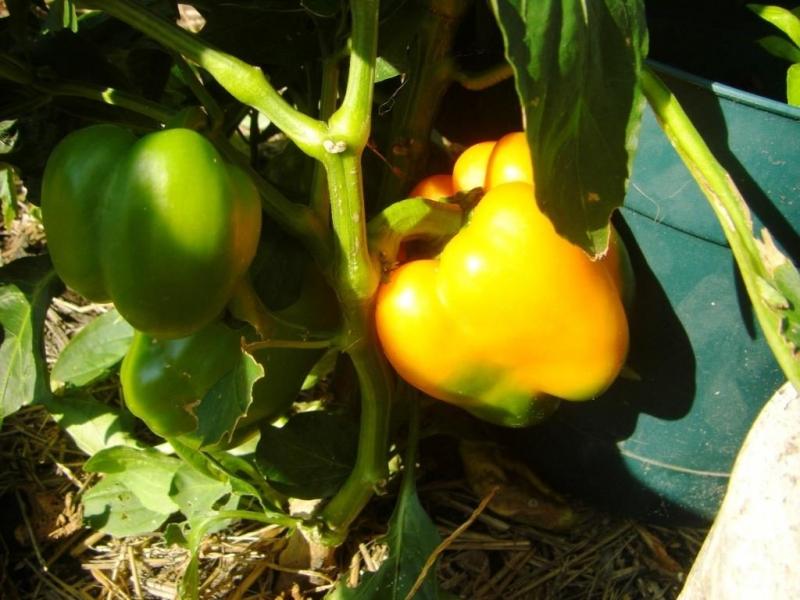 Какие сорта сладкого перца подойдут для выращивания для средней полосы России