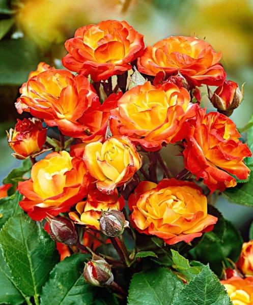 Какие сорта желтых роз Флорибунда пользуются спросом у садоводов и флористов