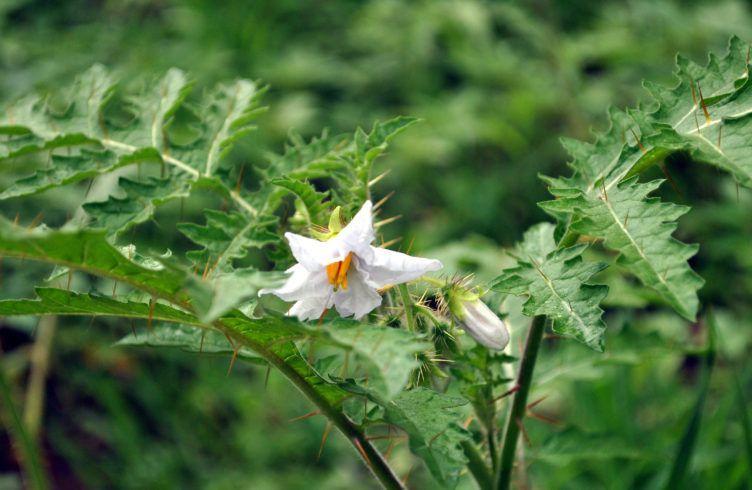 Кокона — выращивание, посадка, размножение и уход