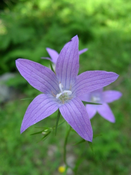Колокольчик рапунцель — выращивание, посадка, размножение и уход