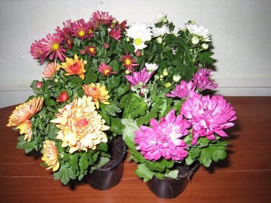 Комнатная хризантема - уход от А до Я