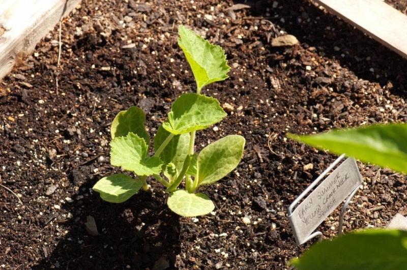 Крукнек скрудж — выращивание, посадка, размножение и уход