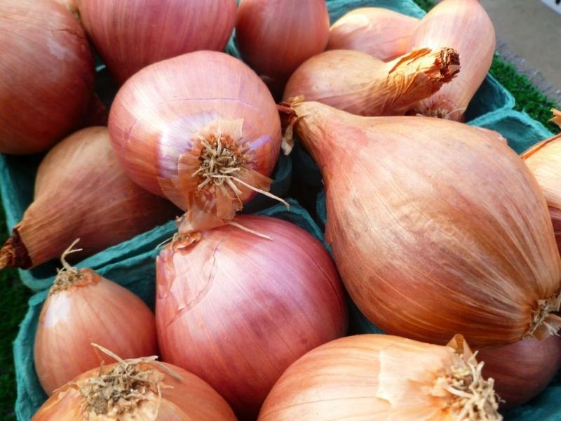 Лук-шалот — выращивание, посадка, размножение и уход