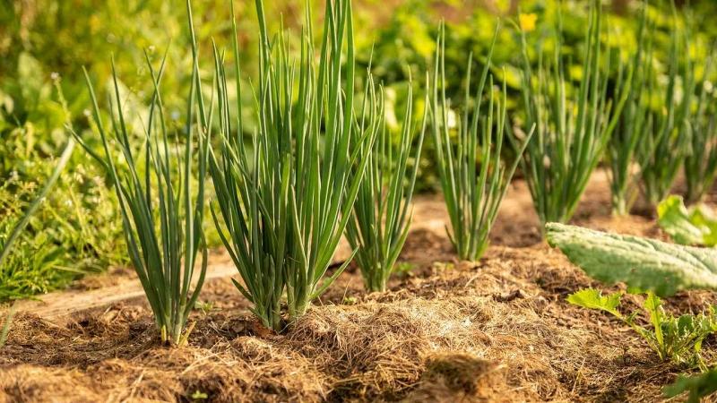 Озимый лук — правильный посев и лучшие сорта