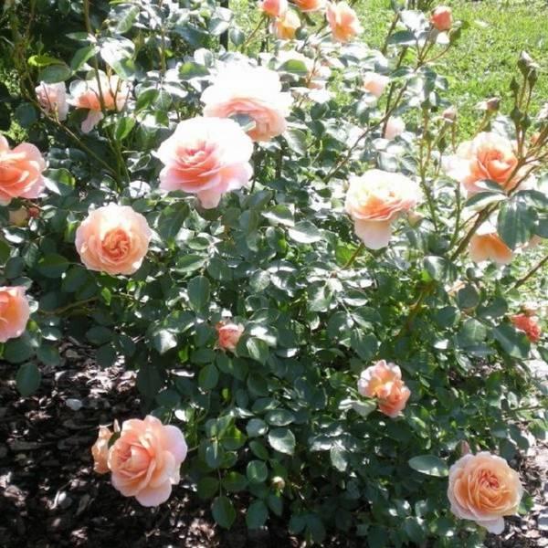 Пересадка роз на новое место  что нужно учесть, чтобы пересаженные розы прижились?