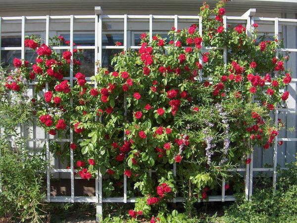 Плетистая роза: осенний уход и подготовка к зиме