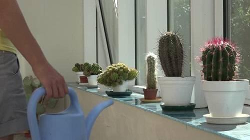Поливаем кактусы правильно