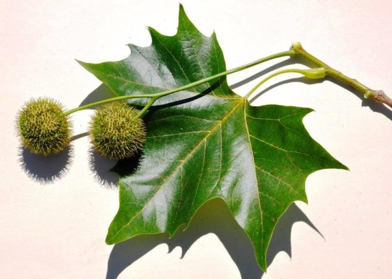 Размножение, посадка, уход и выращивание Платана
