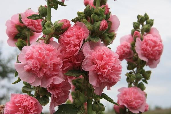 Шток-розы: Посадка и уход