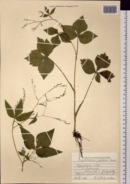 Скрытница японская — выращивание, посадка, размножение и уход