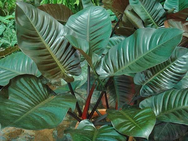 Такие яркие необычные виды филодендрона в интерьере вашего дома