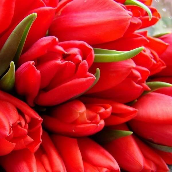 Удобрения для тюльпанов - чем рекомендуется подкармливать тюльпаны?