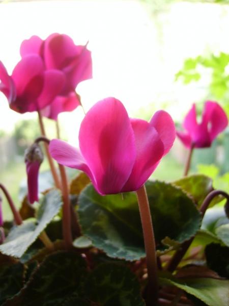Уход за цветущим цикламеном: чем подкормить до и после цветения?