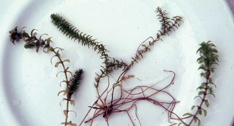 «Водяная чума» или прекрасная Элодея: особенности, размножение, уход.