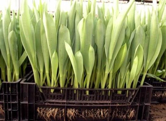 Время посадки тюльпанов осенью и, что делать, если не успели посадить их вовремя?