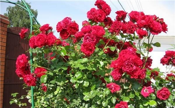 Яркий представитель плетистых роз - Сантана